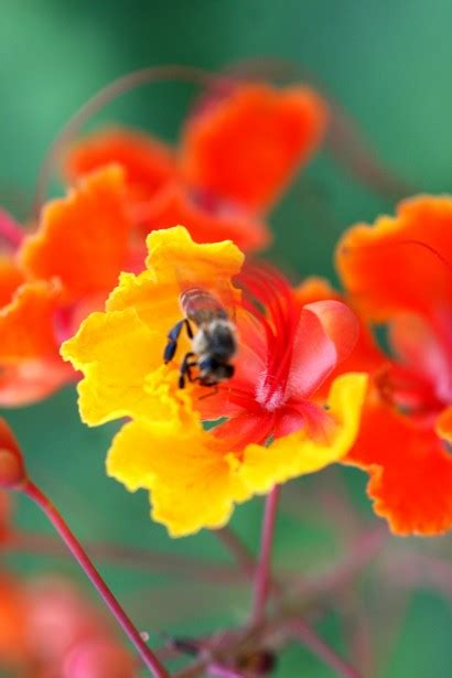 Bumble Bee On A Flower Free Stock Photo - Public Domain