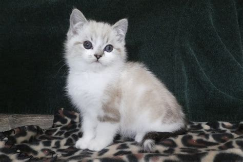 Persian Cats For Sale | East Earl, PA #319365 | Petzlover