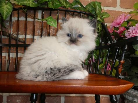 Ragdoll Cats For Sale | East Earl, PA #291465 | Petzlover